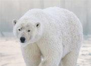 polar-bear-bannner