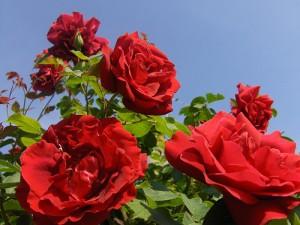 روز rose