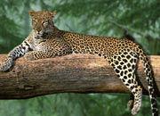 south-arabian-leopard-banner