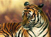 south-china-tiger-banner