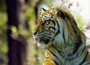 sumatran-tiger-banner