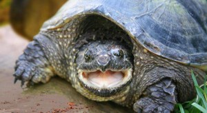 terrapins-shelled