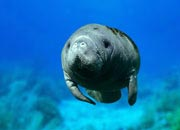 west-indian-manatee-banner