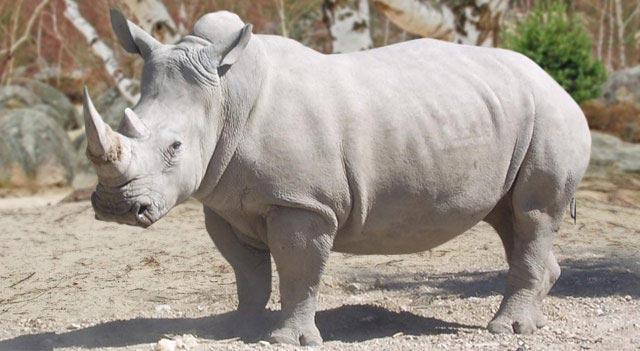 وحيد القرن الأبيض