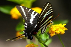 Zebra Swallowtail Butterfly - Eurytides marcellus